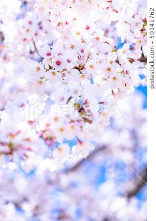 벚꽃 만개 새 생명 50141762