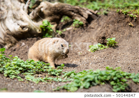 Marmot in wild nature digging ground under tree 50144847