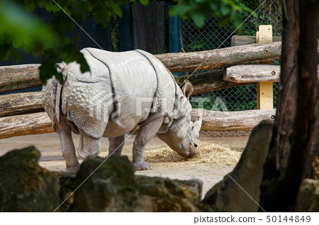 Big Indian rhinoceros eating straw in zoo 50144849