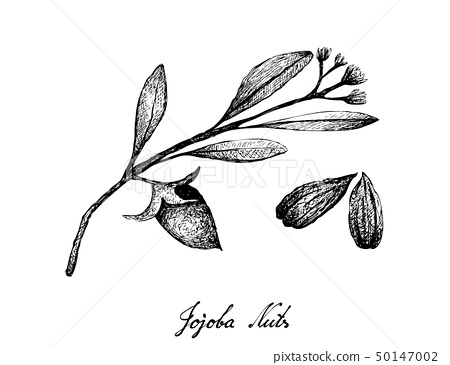 Hand Drawn of Jojoba Nuts and Seed 50147002