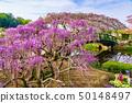 (栃木县)足利花卉公园Murasaki Fuji 50148497
