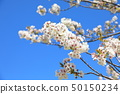 Cherry blossoms of the East Gardens of the Imperial Palace 50150234