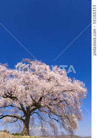 เทือกเขา Yatsugatake_Waniwaka Sakura 50168355