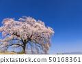 เทือกเขา Yatsugatake_Waniwaka Sakura 50168361