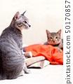 cute short hair young asian kitten grey and black  50170857