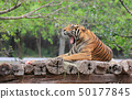 Bengal Tiger on a wooden log in zoo. 50177845