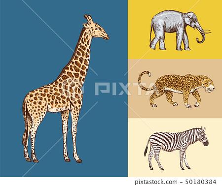 African animals. Elephant Giraffe Leopard Wild zebra. Engraved hand drawn Vintage old monochrome 50180384