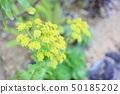 돌나물 꽃 50185202