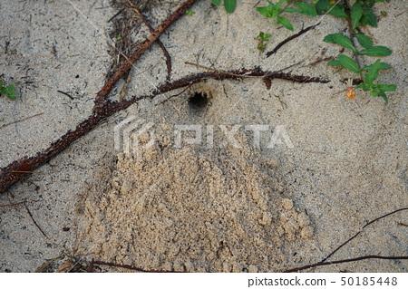 Hermit crab's burrow in Amami Oshima Tomori coast 50185448