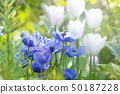 Anemone and tulips 50187228