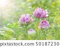 Tulip double flower 50187230
