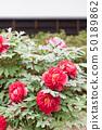 牡丹,botan,按钮,歌舞伎文化公园 50189862
