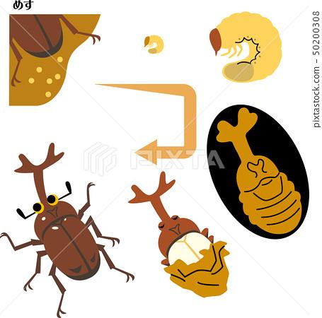 甲蟲的生長周期 50200308
