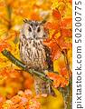 Long-eared Owl with orange oak leaves 50200775