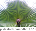 Palm Leaves Green Backdrop. Closeup Palm Tree Background 50203773