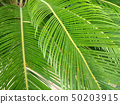 Palm Leaves Green Backdrop. Closeup Palm Tree Background 50203915