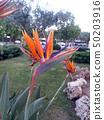 Bird of paradise, crane flower, strelitzia 50203916