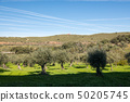 Views of an olive grove and the trace in the sky of the passage of the airplanes near Grimaldo 50205745