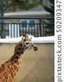 어린이 아미 메키 린 아사히카와시 아사히 야마 동물원 50209347