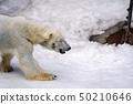 눈 위를 걷는 북극곰 아사히카와시 아사히 야마 동물원 50210646