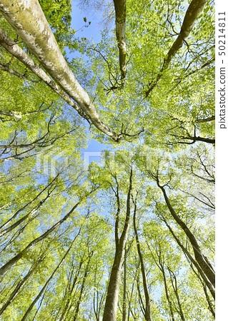 신록의 松之山 미인 숲의 너도밤 나무 숲 50214811