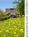 유채 꽃과 초가 민가 50239801