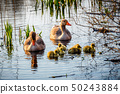 The European Greylags Goose with Chicks, closeup 50243884