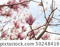 Closeup of magnolia tree blossom with blurred 50248416