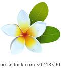 Vector Frangipani Flower 50248590