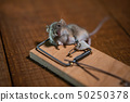 Dead mouse killed in a mouse trap on wooden floor in House 50250378