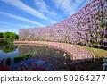 Wisteria flowers 50264277