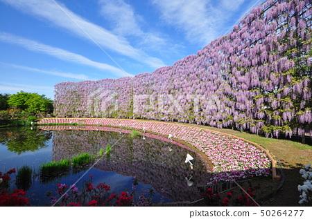 등나무 꽃 50264277