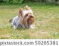 Laughing Yorkshire Terrier 50265381