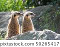 Pair of Meerkats is sitting on a rock 50265417
