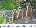 Lovely trinity of Meerkats 50265419