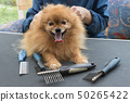 Pomeranian German Spitz dog and grooming combs 50265422