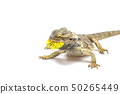 Side view od the agama lizard with dandelion 50265449