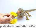 Agama fires tongue toward a dandelion 50265452