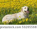 Golden Retriever lying in dandelion meadow 50265568