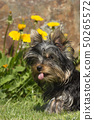 A detailed portrait of Yorkshire Terrier. 50265572