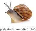 Snail crawling isolated on white 50266345