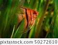 Green water grass with beautiful orange fish 50272610
