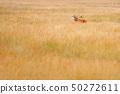 Red deer, rutting season in Hoge Veluwe 50272611
