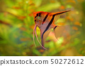 Pterophyllum scalare Angelfish, nature habitat 50272612