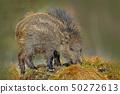 Young Wild boar, Sus scrofa, in the meadow hillock 50272613