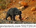 Wild sloth bear, Melursus ursinus in India 50272614