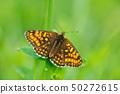 Wild beautiful butterfly, Heath Fritillary 50272615