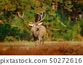 Red deer, rutting season, Netherlands. Deer stag 50272616