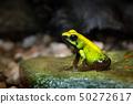 Golden Poison Frog, Phyllobates terribilis 50272617
