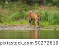 Amur tiger walking near river water 50272619
